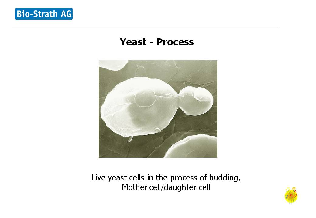 strath yeast process