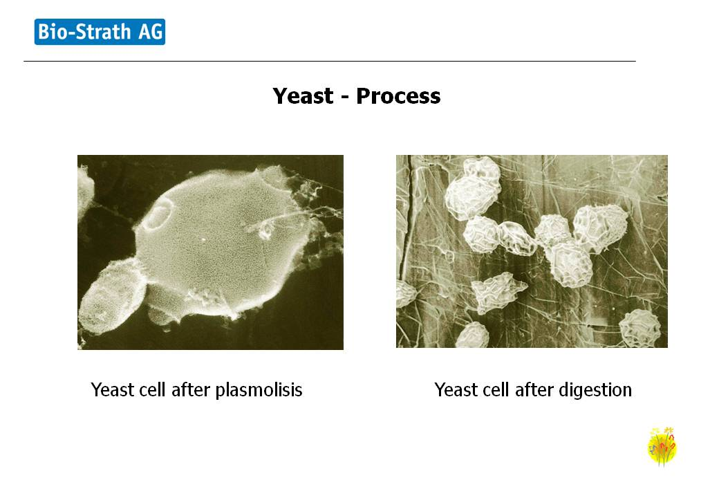 Strath Yeast process continued
