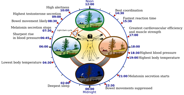 Biological_clock_human_svg